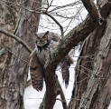 <h5>Horned Owl Photo and Poem</h5><p>Photo by Christian Miller and poem by Christopher Rudolph.</p>