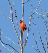<h5>Cardinal Photos and Poems</h5>