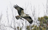 <h5>Osprey Photo and Poems</h5>