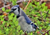 <h5>Blue Jay Photo and Poem</h5>